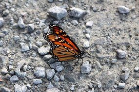 orange and black Monarch Butterfly on grey ground