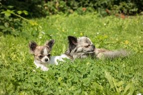 dog breed Chihuahua in the grass