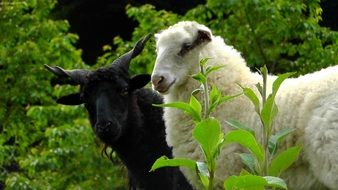 white Sheep and black screw horned Ram together