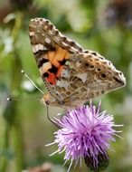 Butterfly feeding on Thistle in Wild