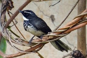 white-throated fantail flycatcher in wildlife