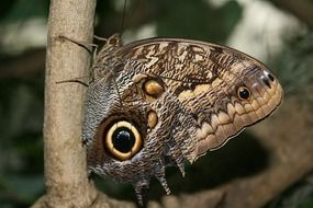 owl butterfly on the twig