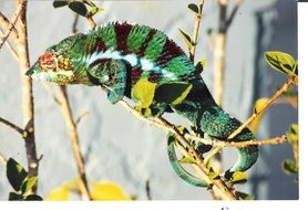 chameleon on a branch
