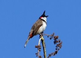 Red-Whiskered Bulbul or pycnonotus jocosus
