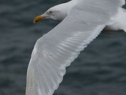 White Seagull Bird in a flight