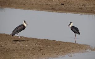 woolly necked storks in wildlife