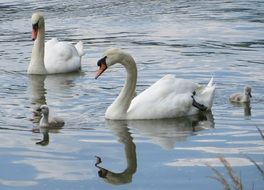 beautiful and cute Swans Birds