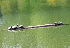 turtles in the green pond