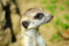 portrait of curious small meerkat