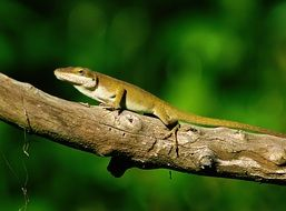 green lizard on a thick tree branch