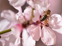 bee on a branch with pink flowers