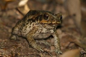 Cane toad in tropical forest