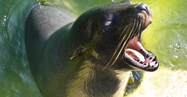 portrait of a sea lion