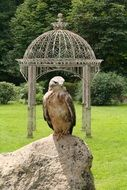 buzzard on a stone in a sunny park
