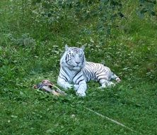 relaxing white tiger