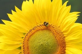bee on the unripe yellow sunflower