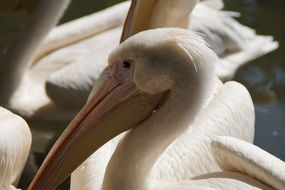 portrait of a white pelican