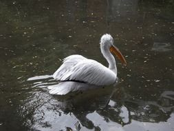 dalmatian pelican in a cold pond