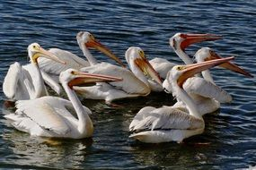 flock of American White Pelicans on water
