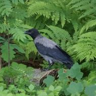 crow in green bushes