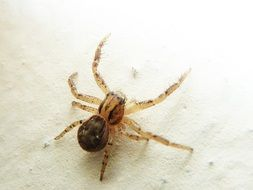 brown spider on a white surface