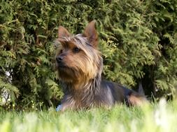 wonderful Terrier Dog