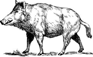 Wild Boar, black and white drawing