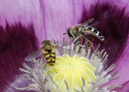 two hover flies on the flower