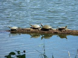 four turtles in the pond