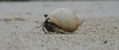 crab in a beige shell