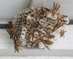Picture of the Wasps