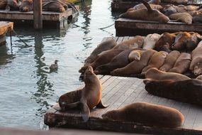 sea lions rest on wooden flooring