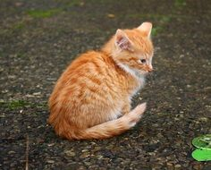 red mackerel tabby kitten