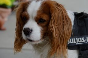 cute dog breed Cavalier King Charles Spaniel