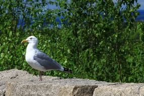 seagull stands on a stone wall