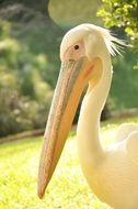portrait of a pelican with huge beak