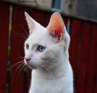 white kitten with big ears near the fence
