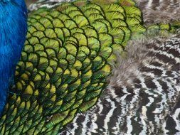 beautiful colorful peacock feathers