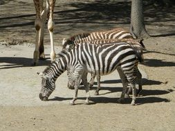 striped zebras at the zoo