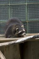 raccoon in Tallinn zoo