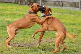 playing boxer dogs in good aiderbichl