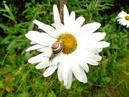 beautiful snail on a white camomile