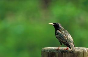 starling sits on a stump