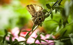beautiful butterfly with eyespots in the garden