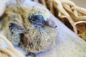 newborn bird with closed eyes in the nest