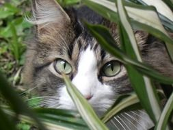 domestic fluffy cat is watching from behind the grass