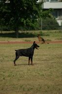 Doberman stands on a green meadow