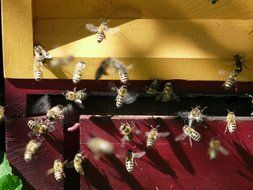 Picture of the Honey Bees