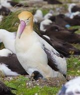albatross with beautiful plumage