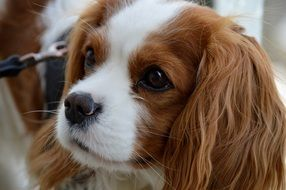 dog breed Cavalier King Charles Spaniel